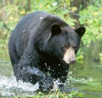 South Carolina black bear hunting