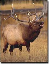Oregon elk hunting