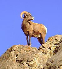 Colorado bighorn sheep hunting