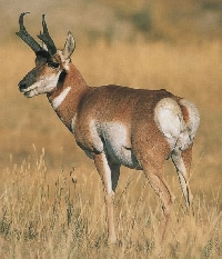 Kansas pronghorn antelope hunting