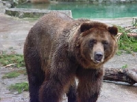 Grizzly Bear Hunting Guides and Outfitters – Trips and Guided Hunts