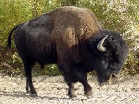 American Bison and Buffalo Hunting Guides and Outfitters � Trips and Hunts