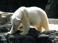 Polar Bear Hunting Guides and Outfitters � Trips and Guided Hunts