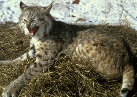 Bobcat Hunting Guides and Outfitters � Trips and Guided Hunts