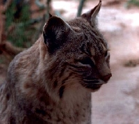 California Bobcat hunting Guides and Outfitters
