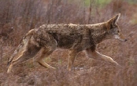 Coyote Hunting Guides and Outfitters � Trips and Guided Hunts